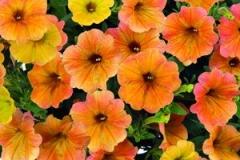 Interesantna cvetnica menja boju cveta tokom razvića. U mladosti cvet je limun žute boje, dok ide preko narandžaste do crveno roze. Cvet srednje krupnoće, gustog sklopa