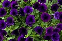 Petunia-viseca-surfrinija