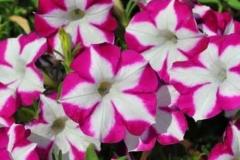 roze-surfrinije