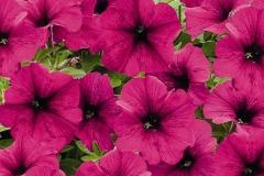 Padajuća petunia sa cvetom srednje krupnoće, gustog sklopa