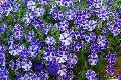 Ljubicasto-plavičasta viseća petonia sa belim trakama koje polaze od centra cveta