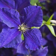 Clematis Jackmanii at Greys Court, Henley-on-Thames, Oxfordshire