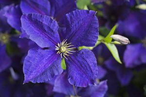 Clematis Jackmanii at Greys Court, Henley-on-Thames, Oxfordshire.