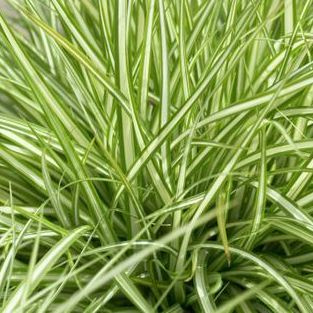 prodaja ukrasnih trava srbija