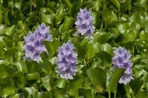 Water Hyacinth / vodeni zumbul