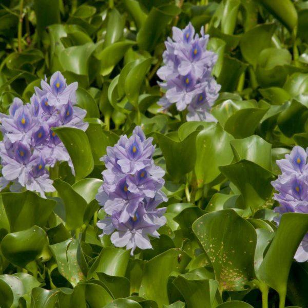 Water Hyacinth vodeni zumbul