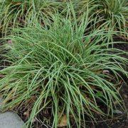 Carex-ornithopoda-Variegata-cena