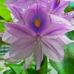Eichhornia_crassipes_vodeni zumbul prodaja
