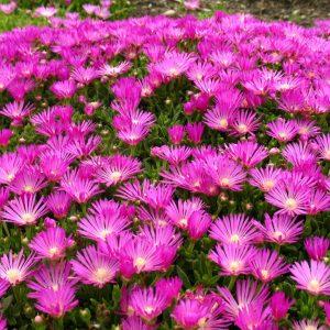 Ledeni,cvet prodaja-Delosperma-cooperi
