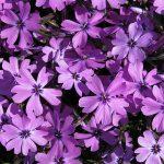 Phlox Purple Beauty_KRUL