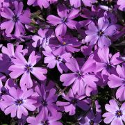 Phlox Purple Beauty_KRUL