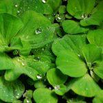 Pistia-stratiotes-prodaja vodenih biljaka
