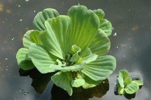 Biljke za vodu