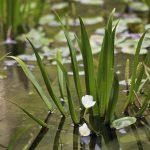 Testerica, biljka za fontanu, jezero