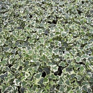 hedera_helix_chester