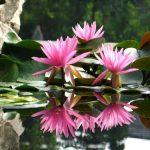 Lokvanj Srbija Vodene biljke prodaja