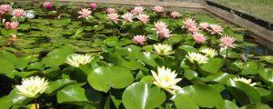 vodene biljke rasadnik beograd