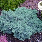 Juniperus kleka blue star