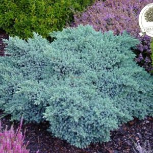 Juniperus kleka blue star