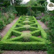Buxus-sempervirens-šimšir rasadnik šimšira