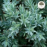 Juniperus_squamata_Blue_Star_2