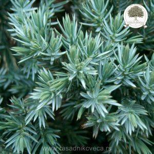 Juniperus_squamata_Blue_Star_2
