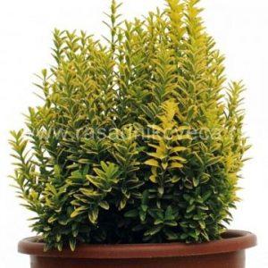 euonymus-japonicus-microphylla-variegata-7lt-360x360