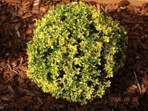 euonymus-japonicus-microphyllus-aureovariegatus1