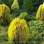 zlatna tuja aurea nana
