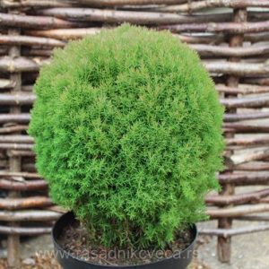 thuja_occidentalis_teddy_resized_1