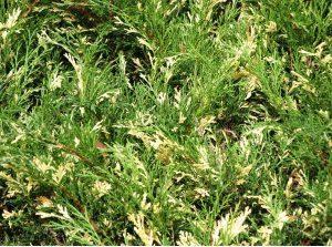 juniperus/kleka variegata