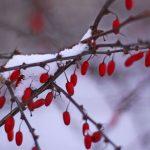 Berberis thunbergii with snow