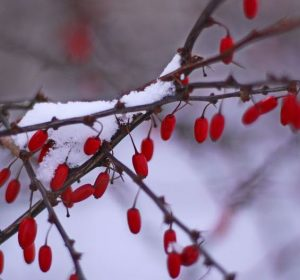 Berberis thunbergii with snow