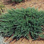 Creeping-Juniper-Plant