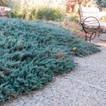 Juniperus horizontalis 'Blue Chip' (1)