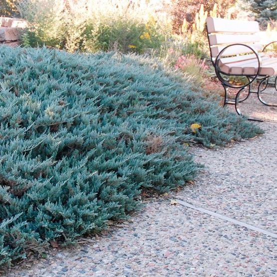 Juniperus horizontalis 'Blue Chip' (1)