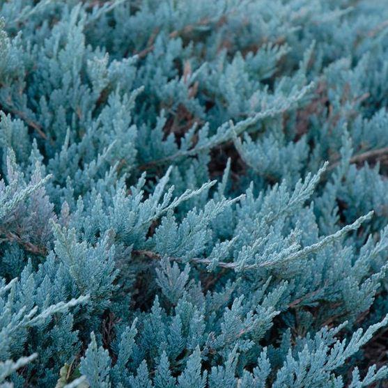 Juniperus horizontalis 'Blue Chip' (2)