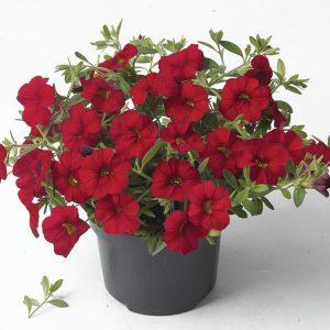 Bordo crvena boja, kompaktne forme