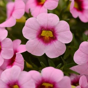 Bledo roze boje, sitnog cveta gustog sklopa (Viseća petunia)