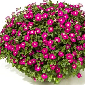 Loptasta Surfinia sitnog cveta pink boje sa belim krugom koji se nalazi u sredini cveta