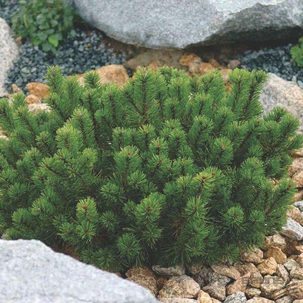 Pinus_mugo_var_pumilio_cetinari prodaja