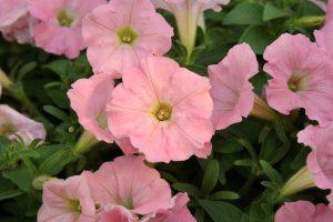 Roze petonije