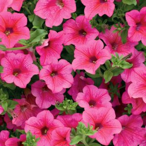 Roze petunija