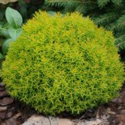 Thuja_occidentalis_Mirjam1