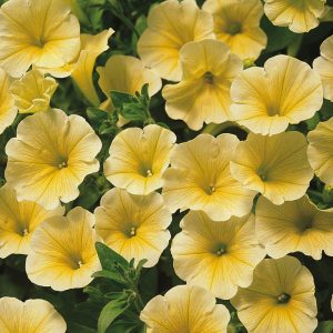 Bledunjavo žuta boja, sa nervaturom tamnije žute koja polazi iz centra trubičastog cveta