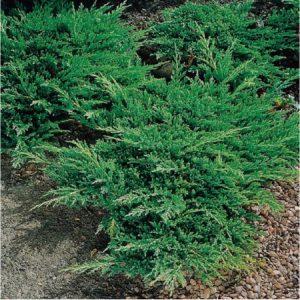 juniperus-horizontalis-prince-of-wales-genevrier-rampant-prince-de-galles