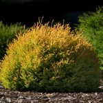 thuja-occidentalis-rheingold