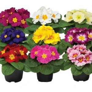 jagorčevine osmomartovsko cveće