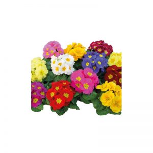 cveće beograd