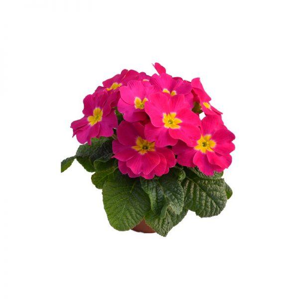 roze primula